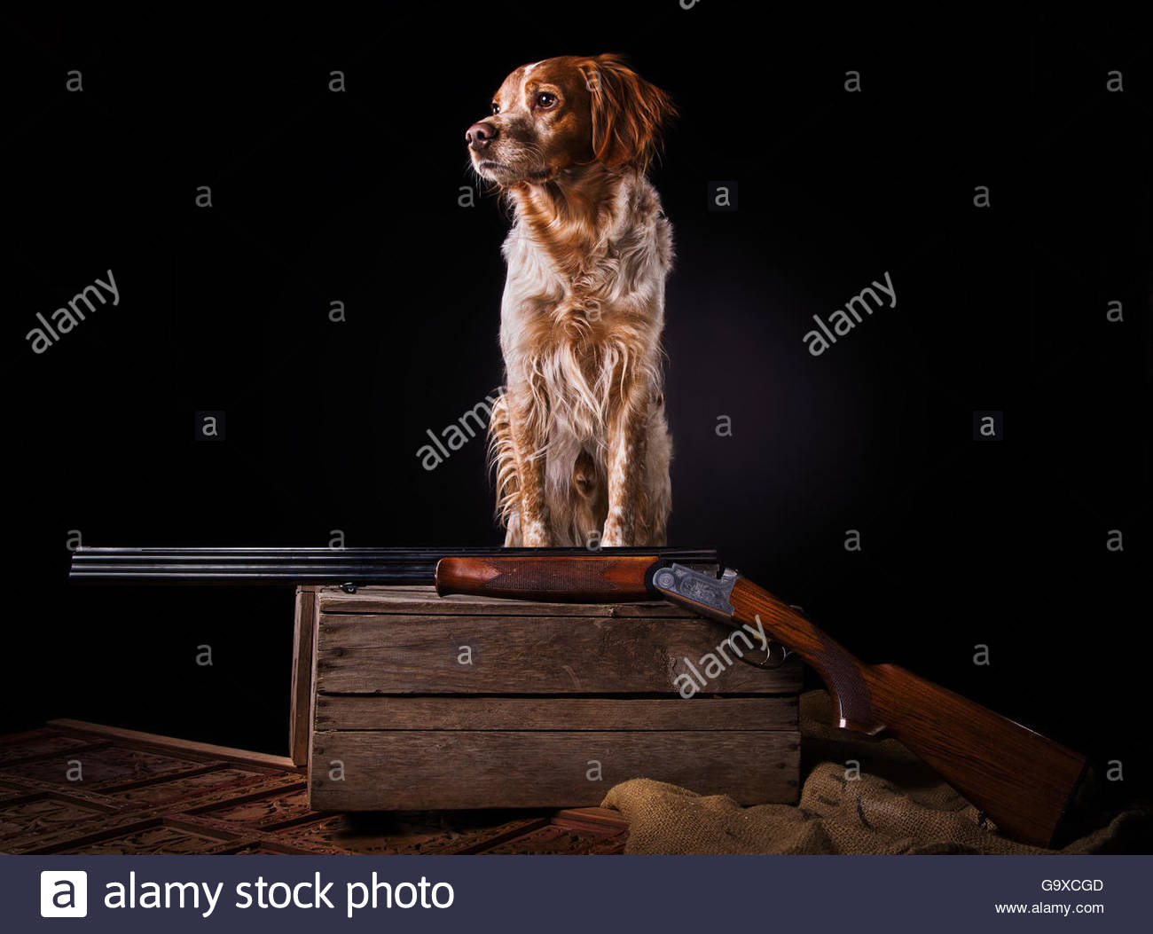 Studioshot from Epagneul Breton dog on wooden box with gun - Stock Image