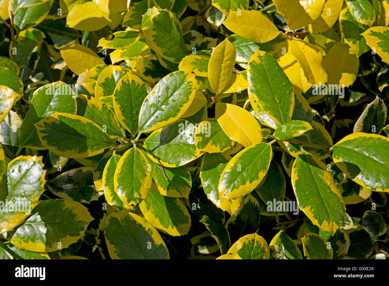 Shrub with yellow and green waxy leaves Kiffsgate Court Gardens Mickleton Cotswolds UK Stock Photo