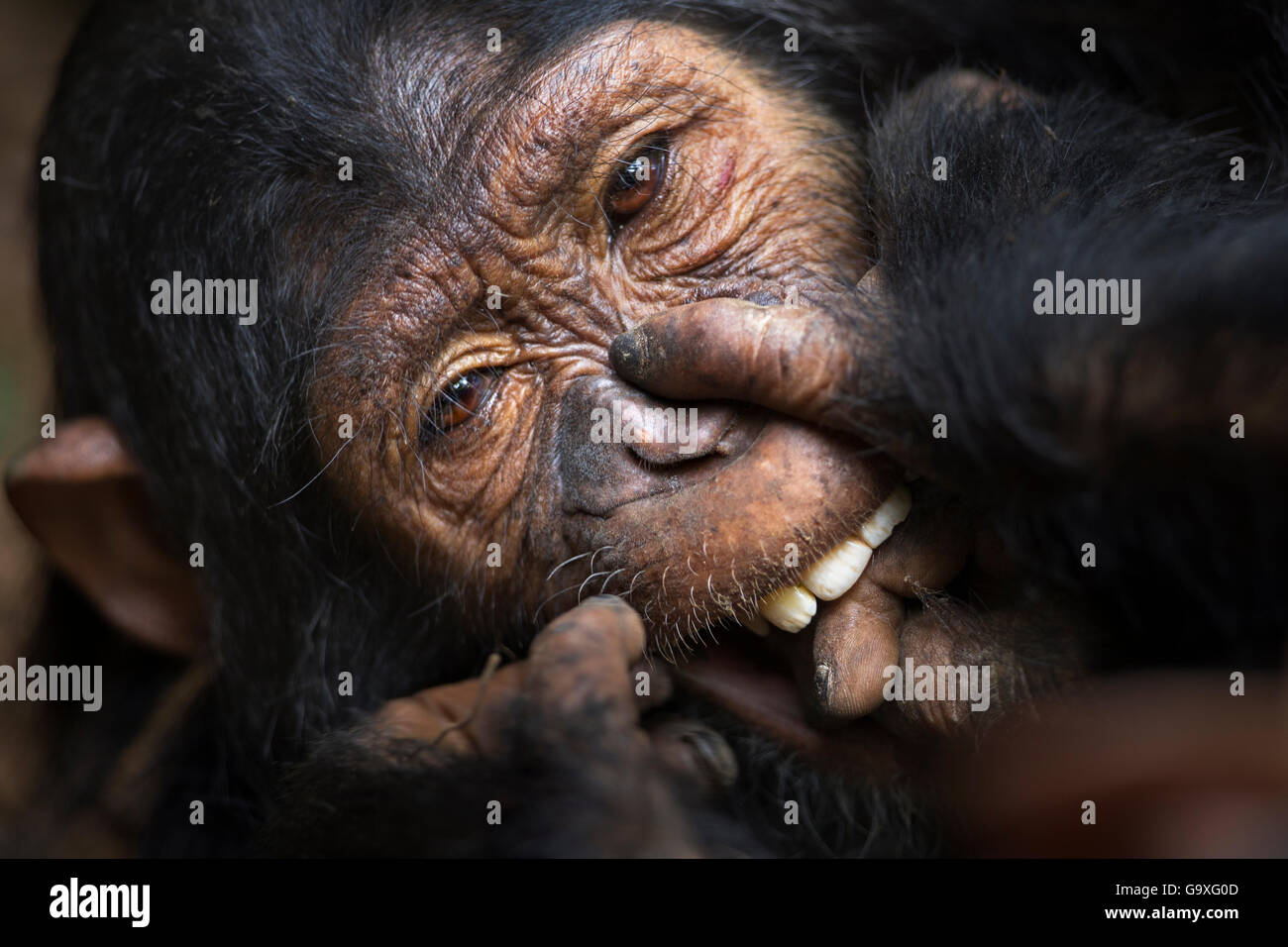 Eastern chimpanzee (Pan troglodytes schweinfurtheii) juvenile female 'Familia' aged 7 years playing with - Stock Image