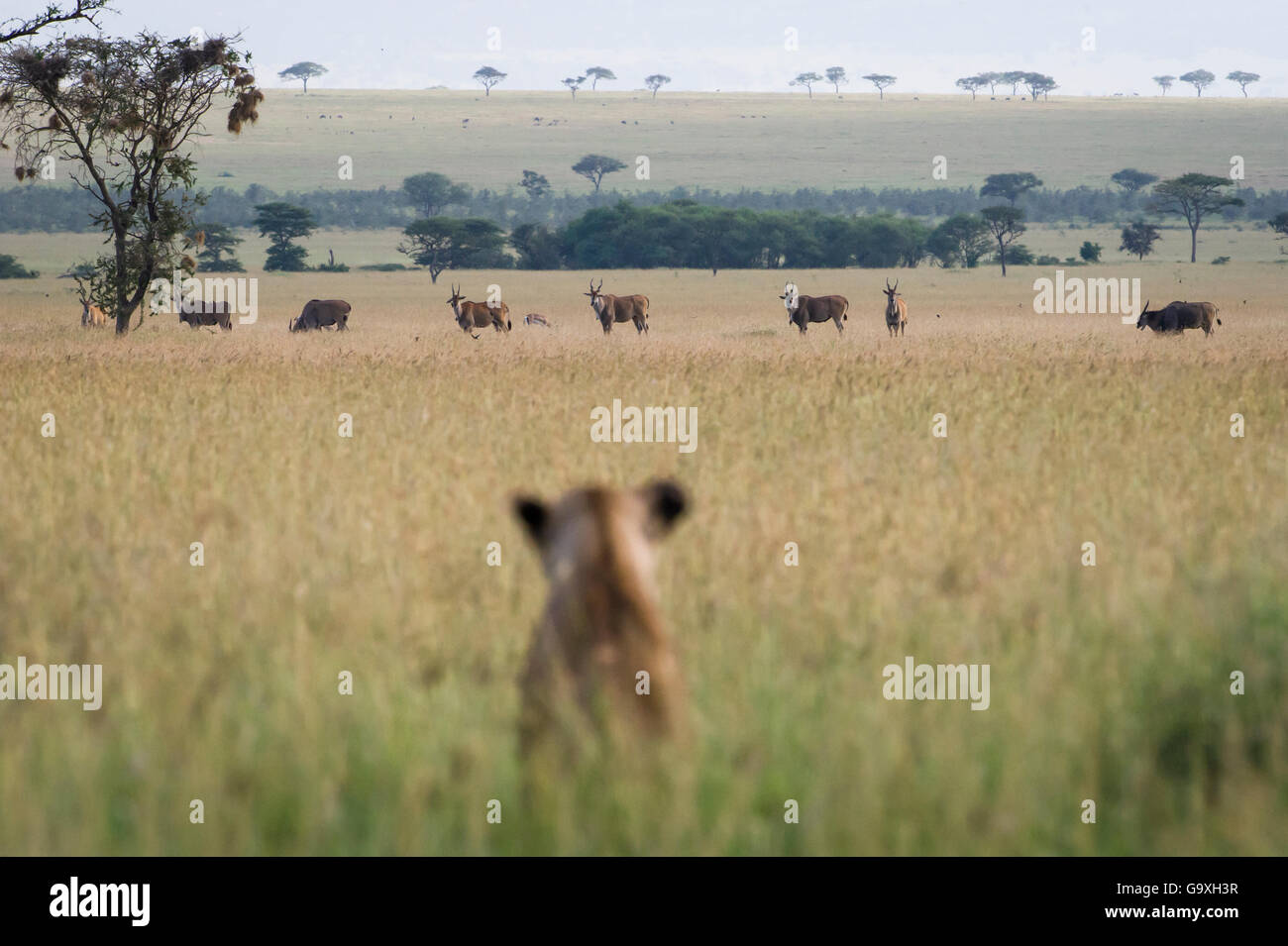 African lioness (Panthera leo) sitting patiently in the long grass, watching herd of Common eland (Tragelaphus oryx). - Stock Image