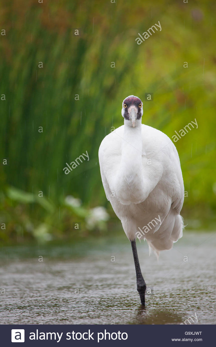 Whooping crane (Grus americana)  International Crane Foundation, Wisconsin, USA. Captive. - Stock Image