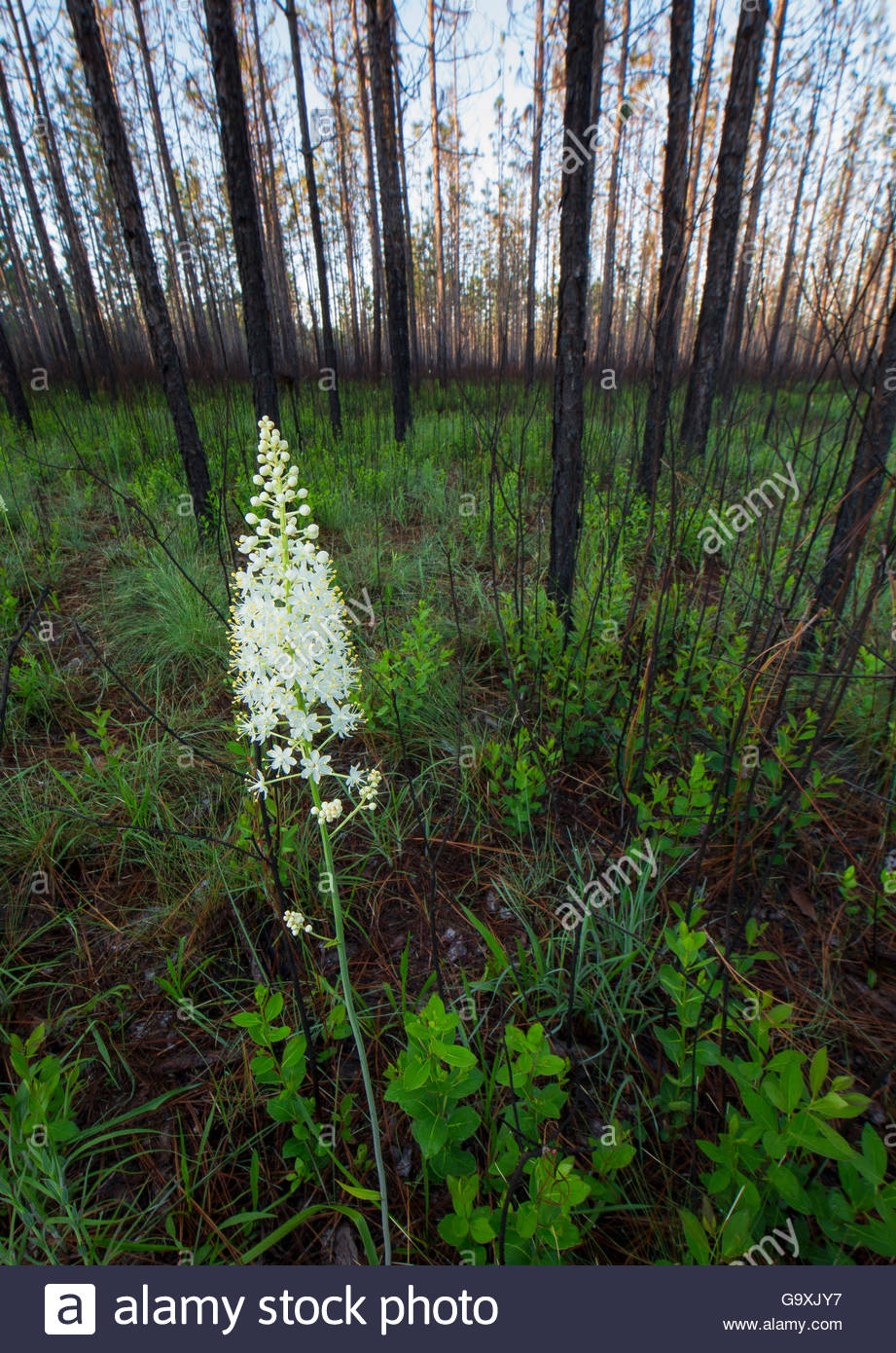 Osceola's Plume (Stenanthium densum) blooming after controlled fire, Conecuh National Forest, Alabama, USA. - Stock Image