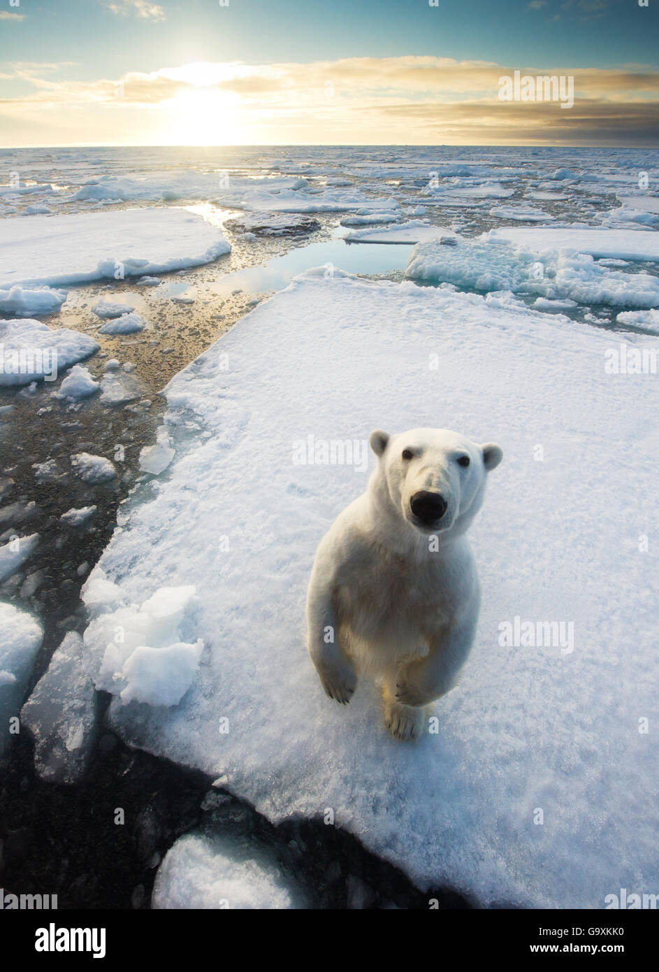 Polar bear (Ursus maritimus)  standing on ice floe, looking at camera. Svalbard, Norway. August. - Stock Image