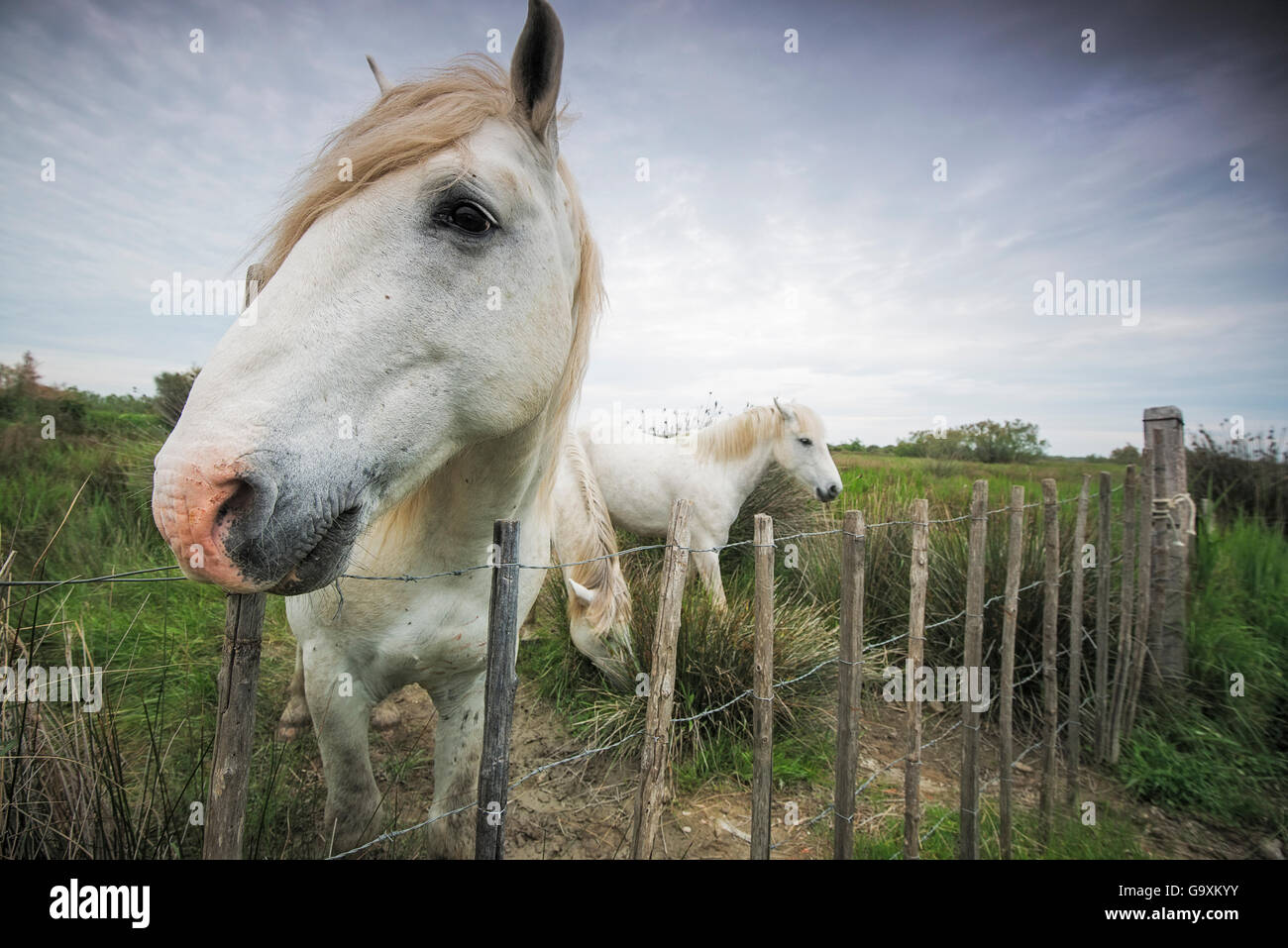 Close up of a Camargue horse (Equus caballus) looking over a fence, Camargue, France, May. - Stock Image
