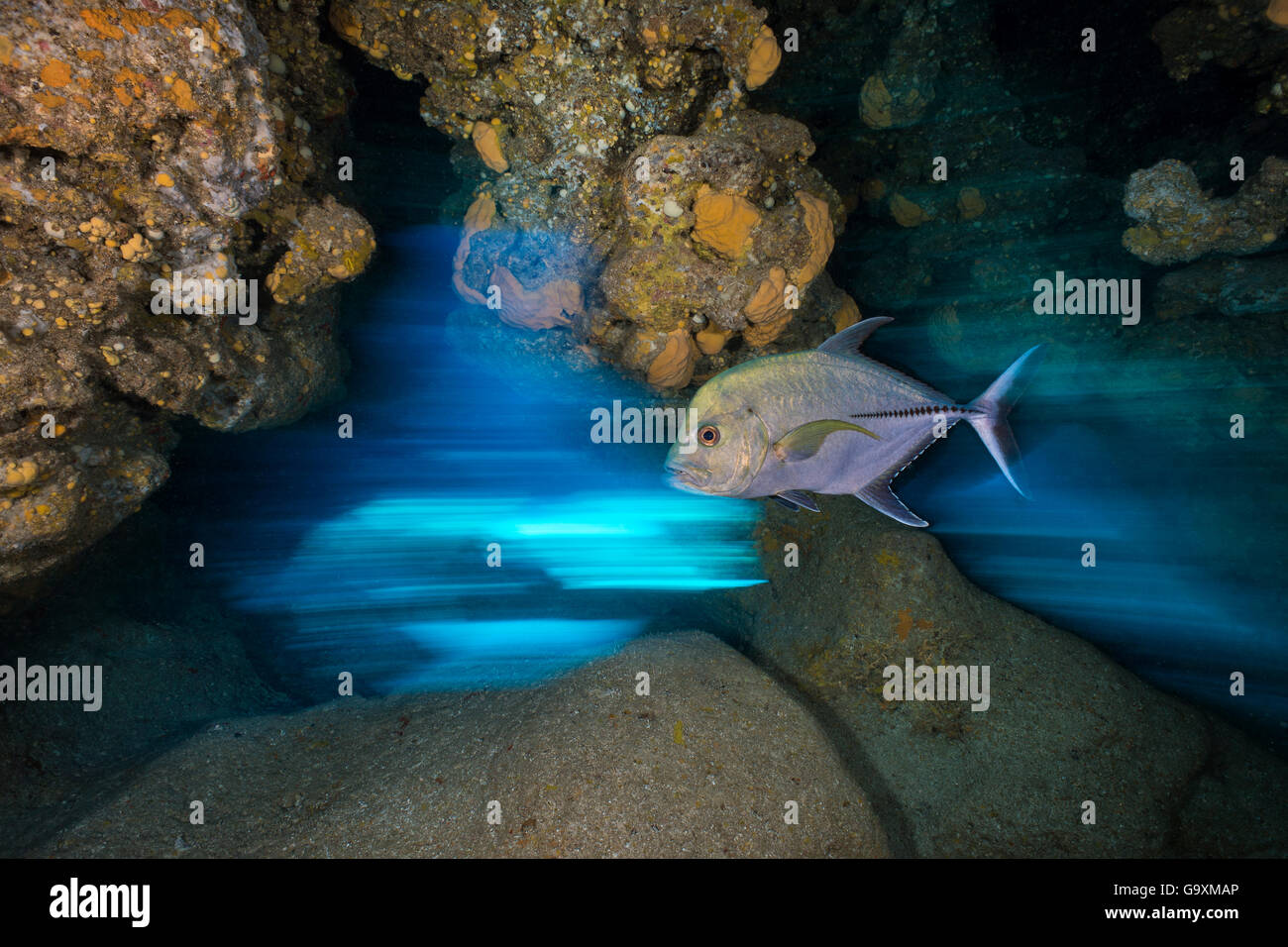 Long exposure of Black jack (Caranx lugubris) swimming through a cavern in a coral reef. East End, Grand Cayman, - Stock Image