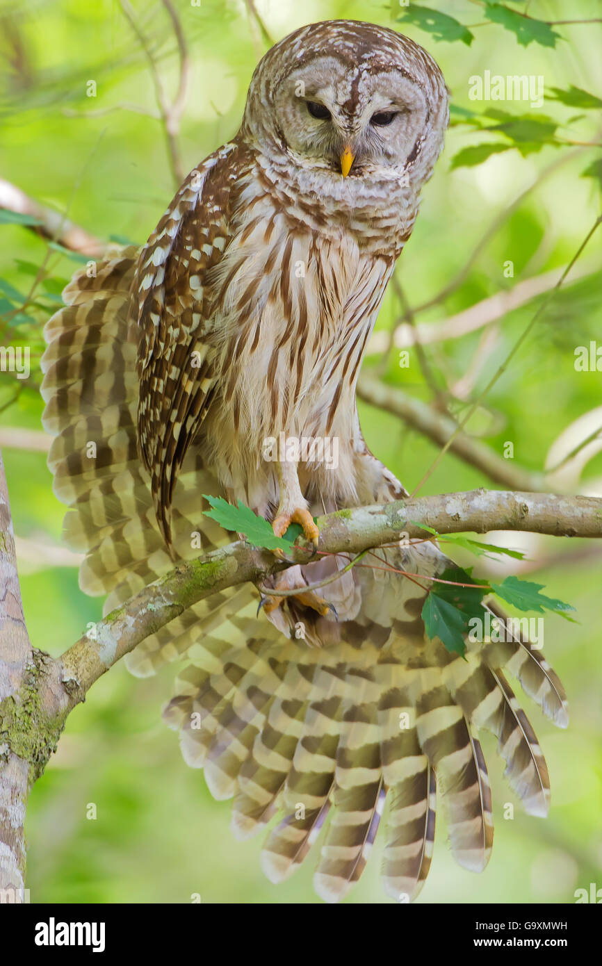 Barred owl (Strix varia) stretching wings,  Corkscrew Swamp Audubon Sanctuary, Florida, USA, March. - Stock Image