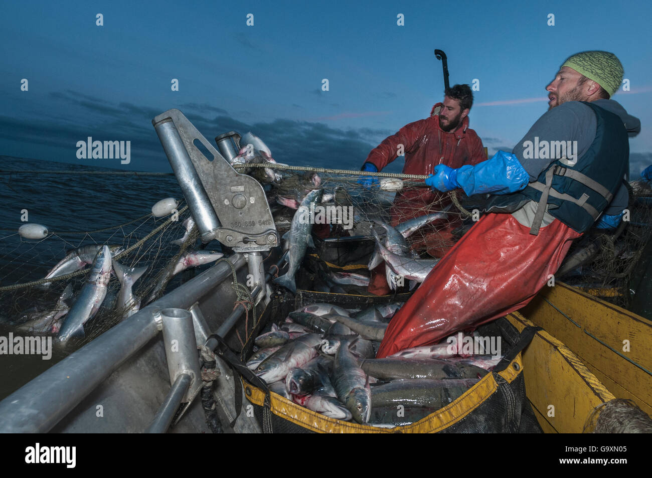 Fishermen haul in set gill net whilst fishing for Sockeye salmon (Oncorhynchus nerka) at night, Graveyard Point, - Stock Image