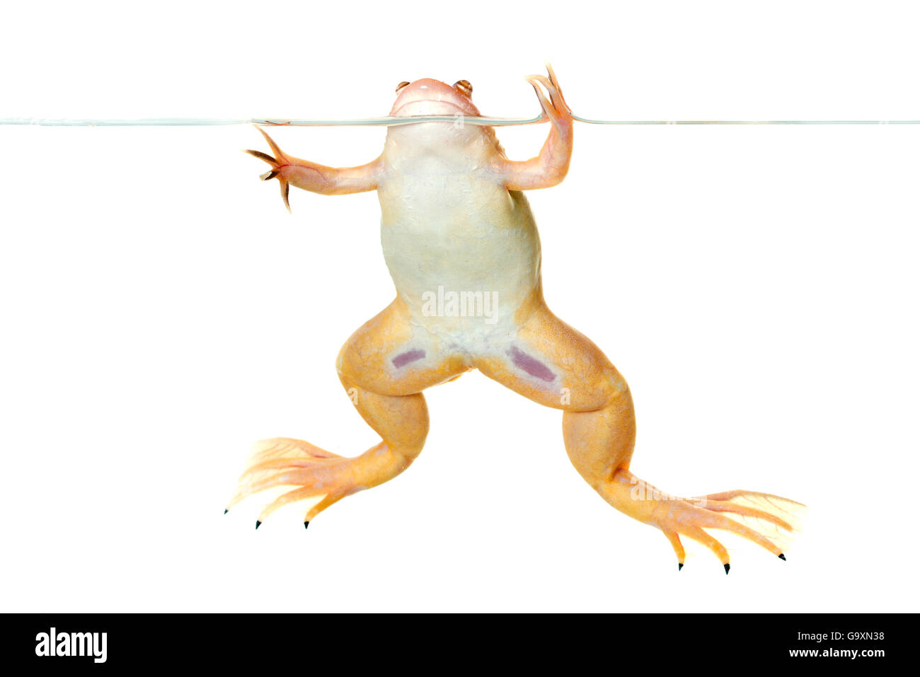 African clawed frog (Xenopus laevis) at water's surface, captive, occurs in Africa. - Stock Image