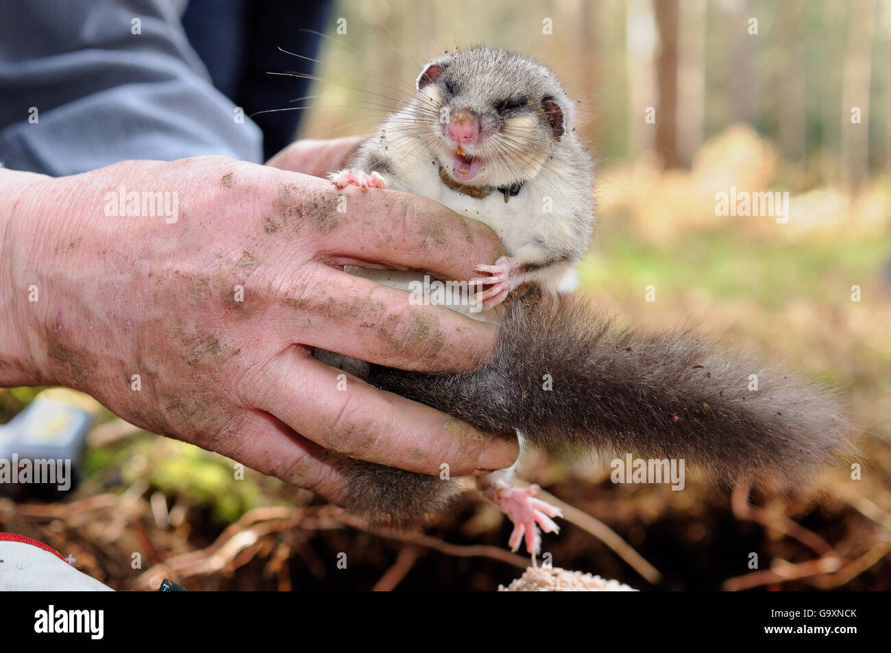 Sleepy, radio-collared Edible / Fat Dormouse (Glis glis) excavated from its winter hibernation burrow held during - Stock Image