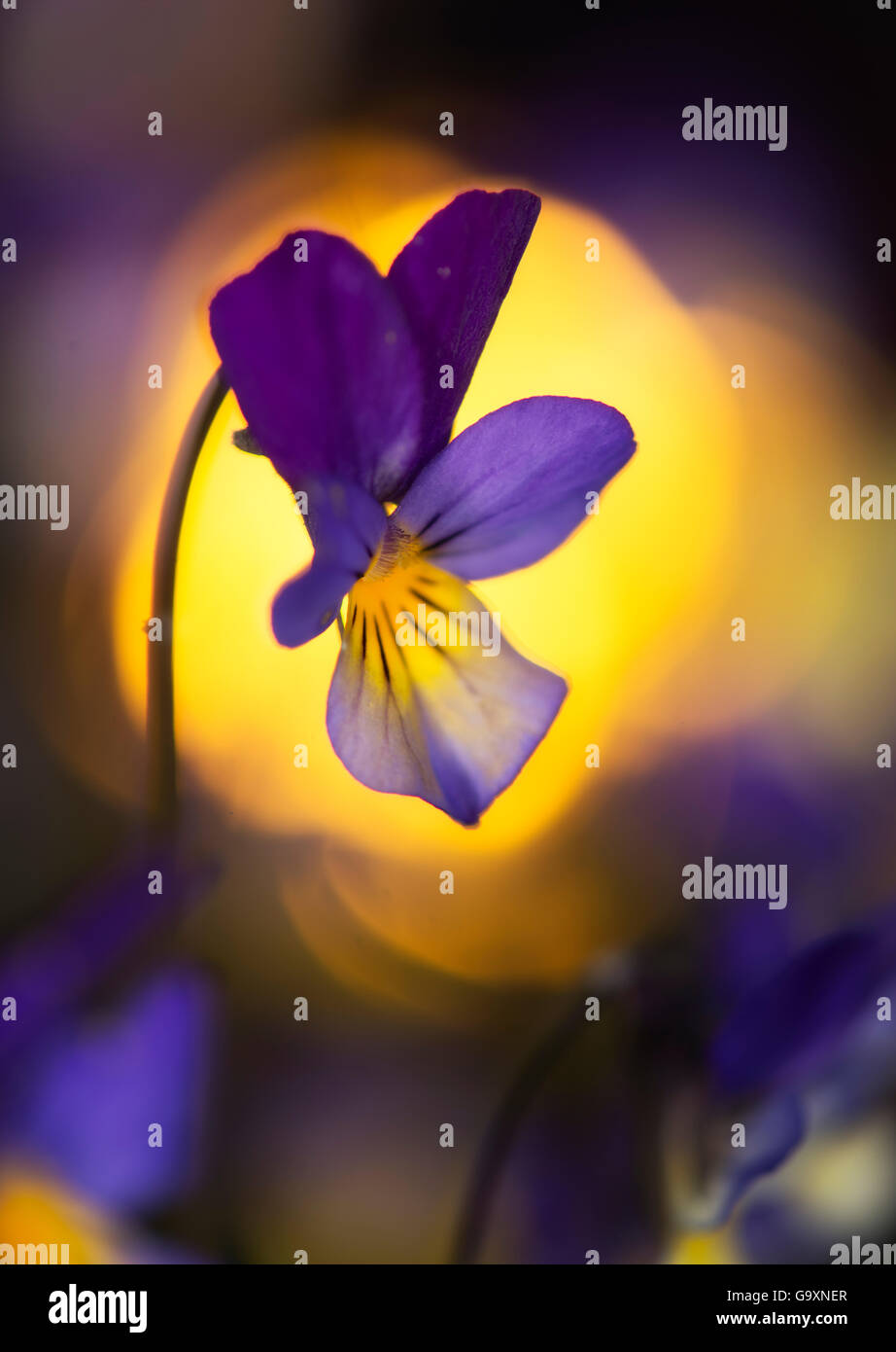 Heartsease / Wild pansy (Viola tricolor) flower, Norway, May. - Stock Image