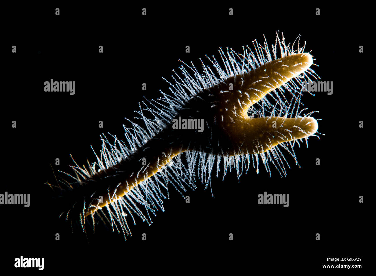 Backlit detail of branching fire coral (Millepora alcicornis) showing the hair like polyps, filled with stinging Stock Photo