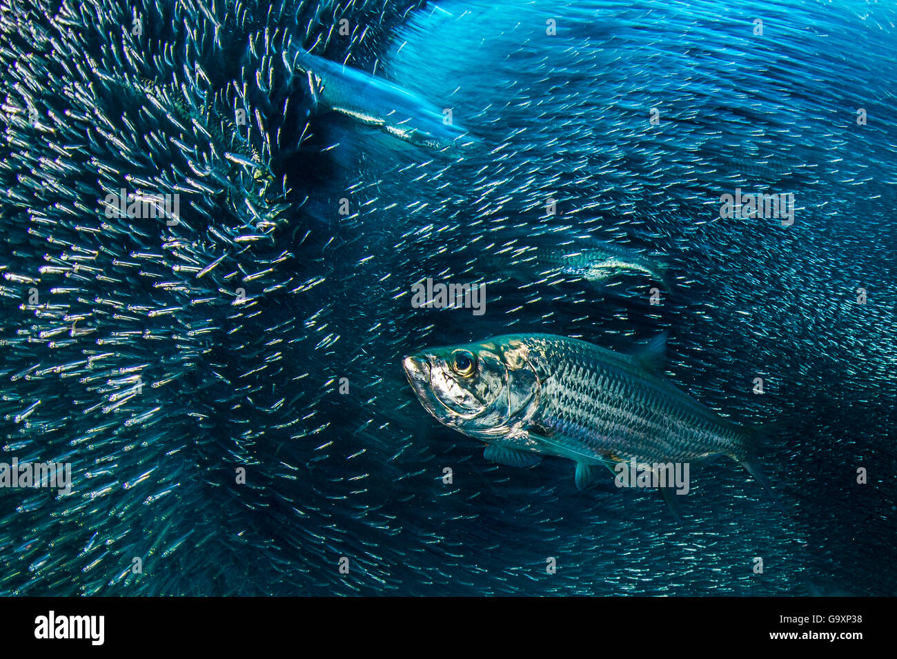 Long exposure of a group of Tarpon (Megalops atlanticus) hunting a school of Silversides (Atherinidae) in a coral - Stock Image