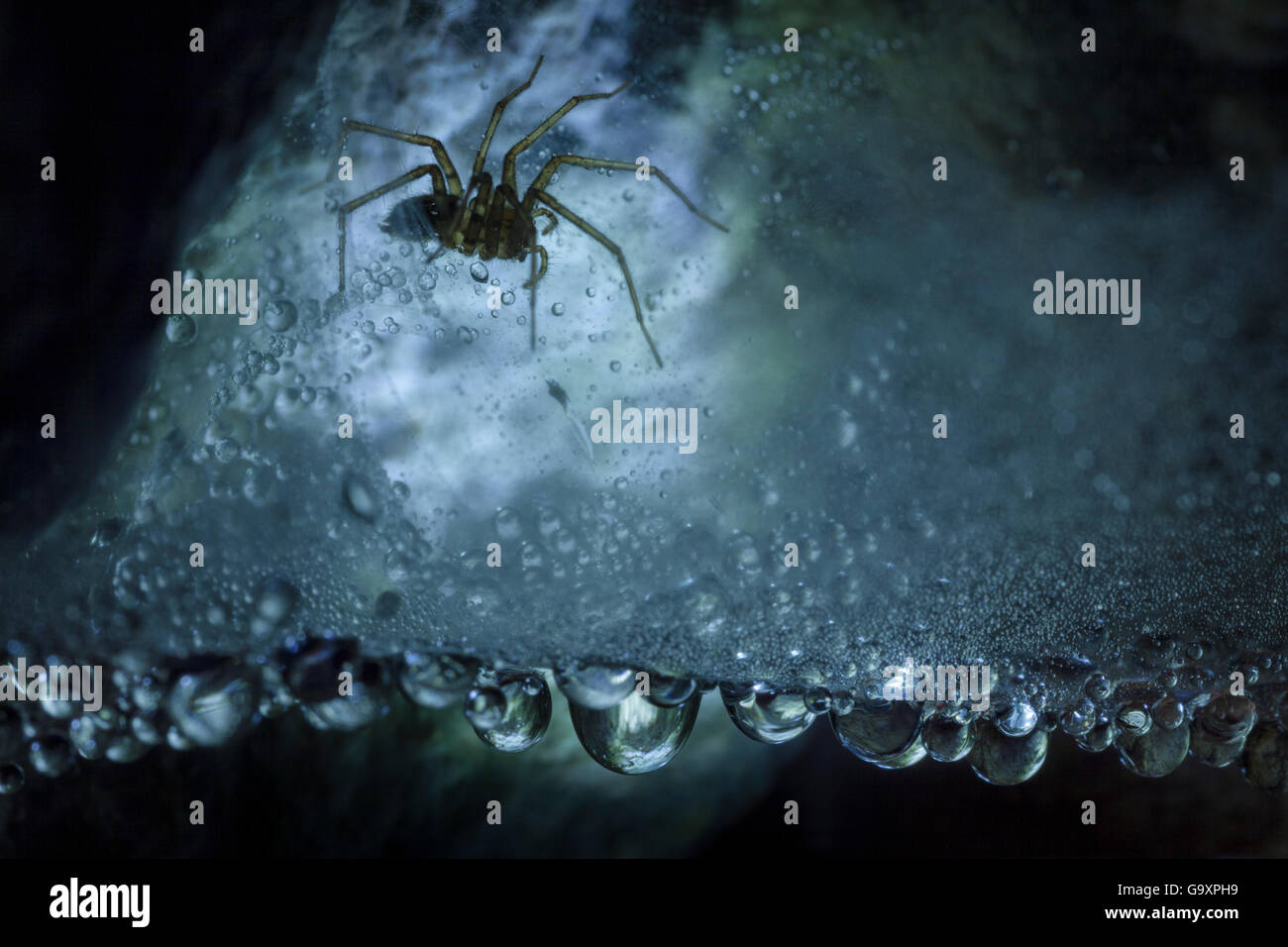 Spider (Tegenaria sp.) in dew-covered web in limestone cave, Plitvice Lakes National Park, Croatia. January. - Stock Image