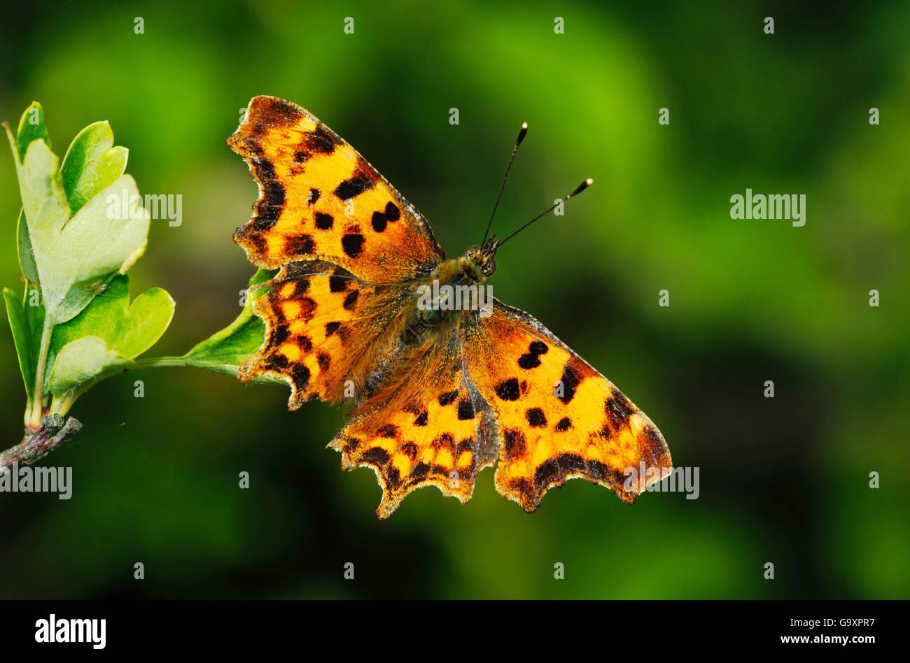 Comma Butterfly (Polygonia c-album) London, UK, June. - Stock Image