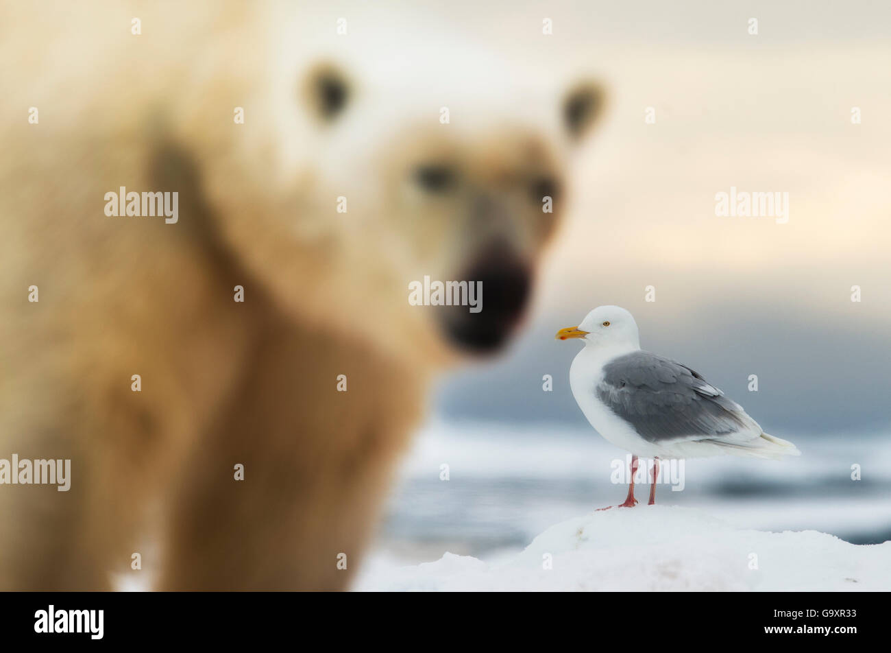 Polar bear (Ursus maritimus) and Glaucous gull (Larus hyperboreus) in Svalbard, Norway, July 2014. - Stock Image