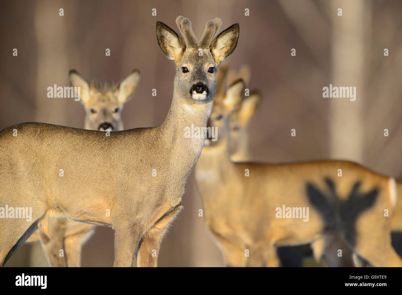 Four Roe deer (Capreolus capreolus) bucks with velvet antlers and the shadow of a fifth buck, Tartumaa, Estonia, - Stock Image