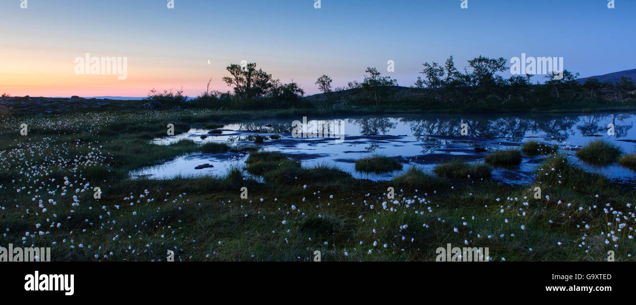 Moonrise over a mountaintop covered with Cottongrass (Eriophorum) Jamtland, Sweden, July. - Stock Image