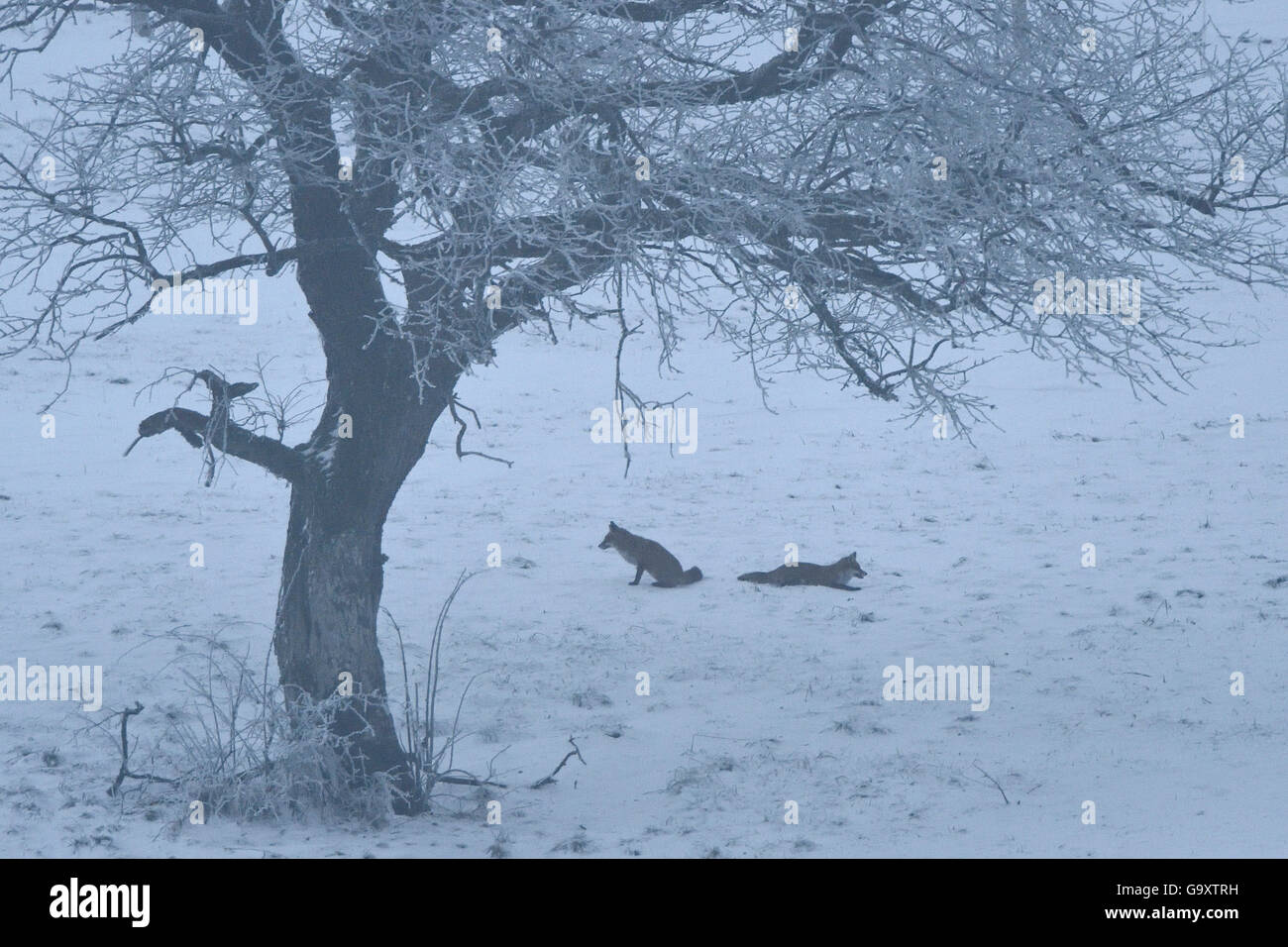 Red fox (Vulpes vulpes) pair in winter, Vosges, France, January. - Stock Image