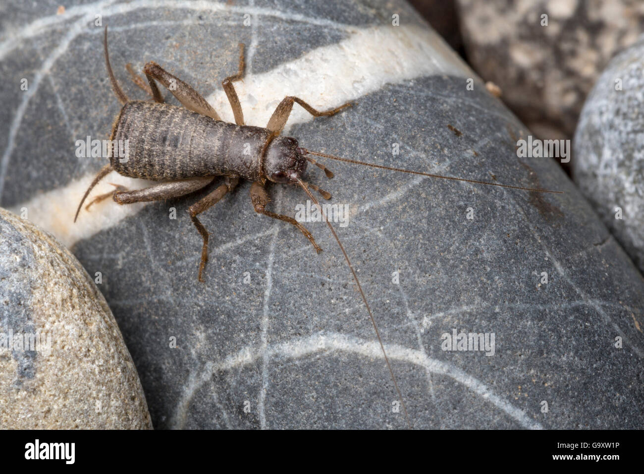 Scaly cricket  (Pseudomogoplistes vicentae) male amongst shingle. England, UK. Captive. - Stock Image