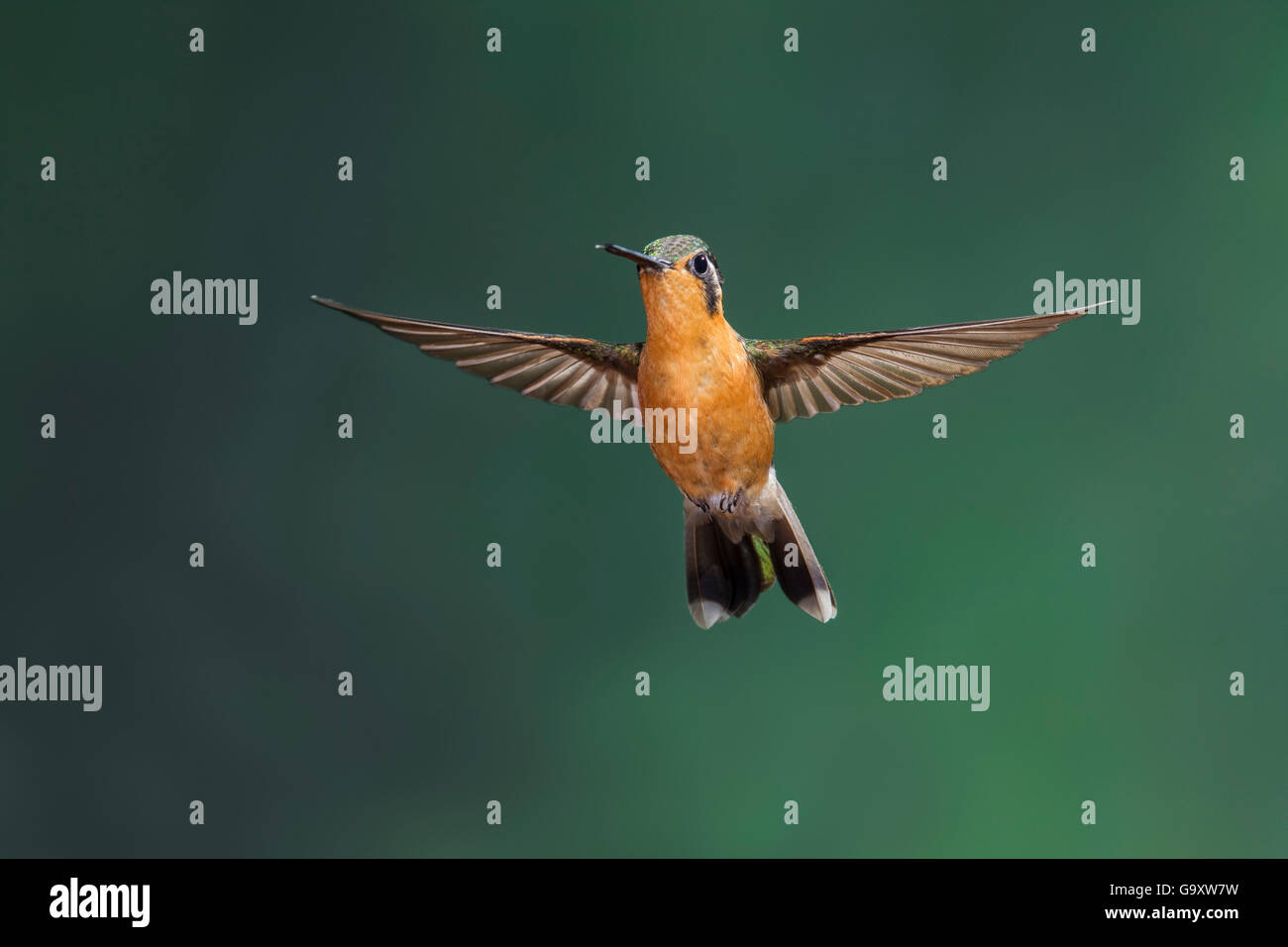 Purple-throated mountain gem hummingbird (Lampornis calolaemus) hummingbird adult female in flight, Atlantic Rainforest, - Stock Image