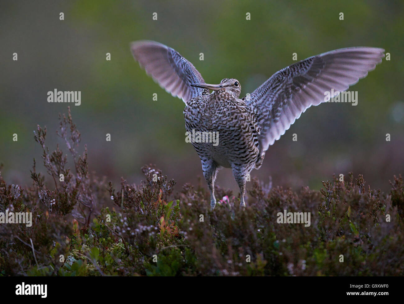 Great snipe (Gallinago media) flapping wings, Norway, June. - Stock Image