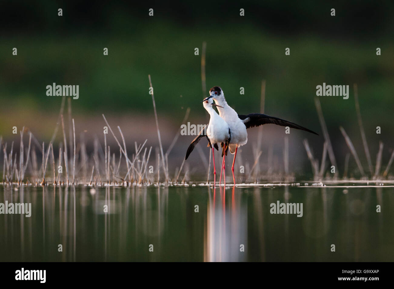 Black-winged stilt (Himantopus himantopus) pair courting, Volano, Italy, May. - Stock Image