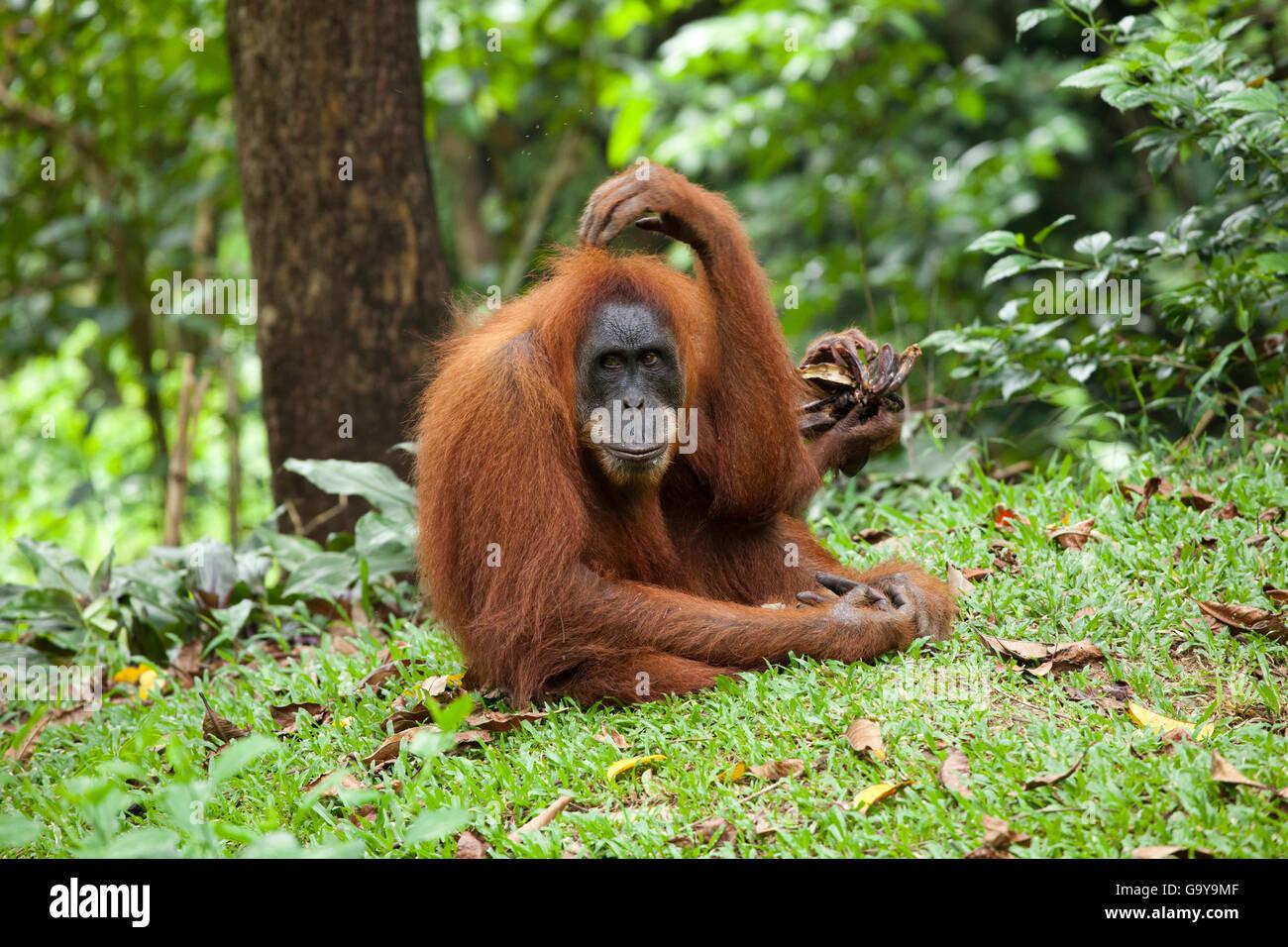 Sumatran orangutan (Pongo abelii) in the rain forests of Sumatra, Indonesia, Asia - Stock Image