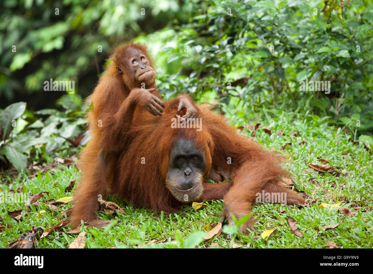 Sumatran orangutan (Pongo abelii) with young, in the rain forests of Sumatra, Indonesia, Asia Stock Photo