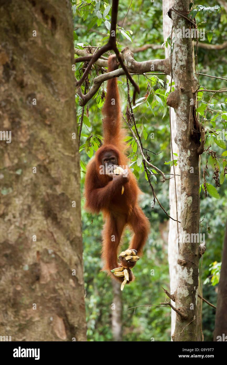 Sumatran orangutan (Pongo abelii) hanging from a tree and eating bananas, in the rainforest of Sumatra, Indonesia, - Stock Image