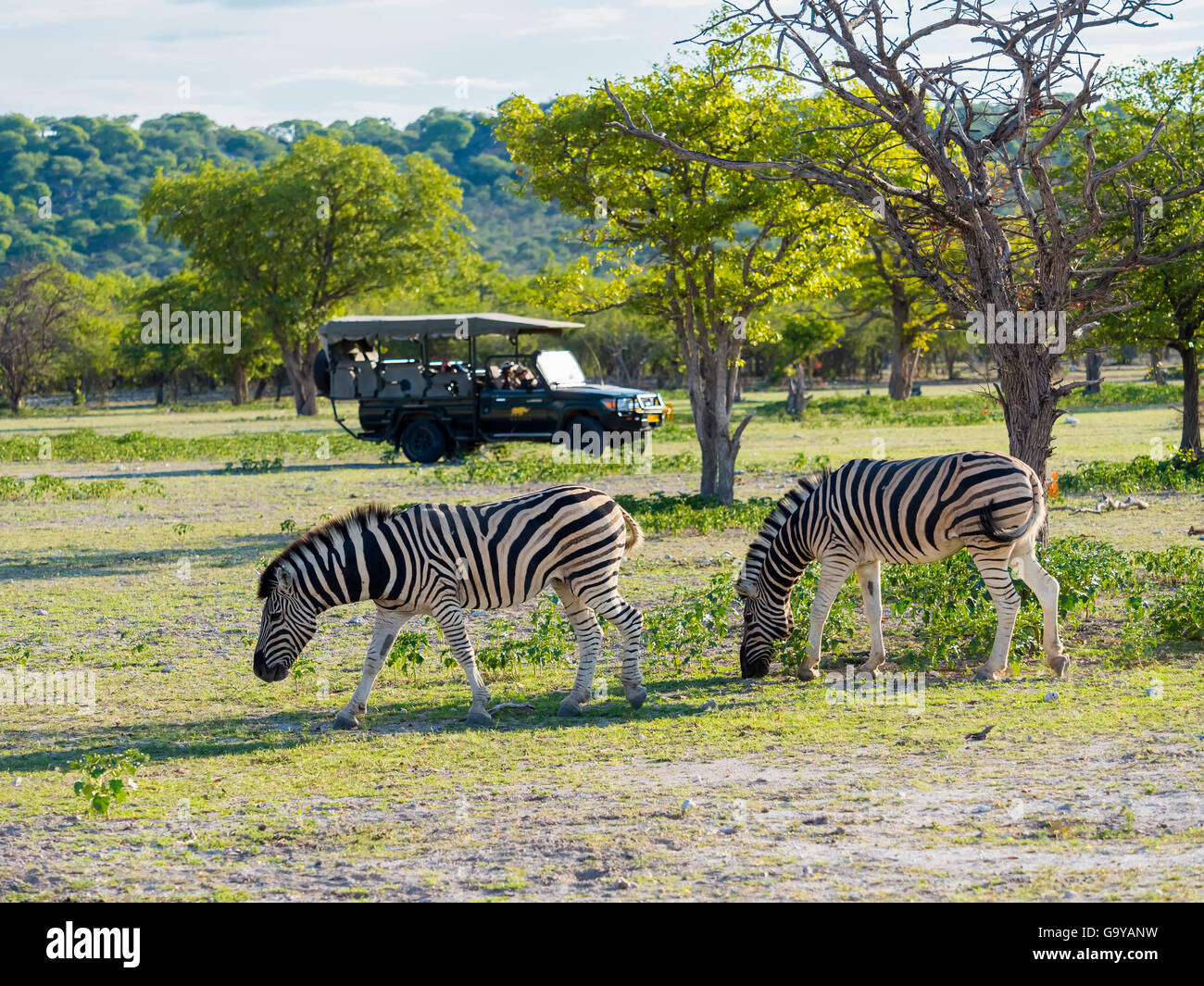 Burchell's Zebras (Equus burchelli) grazing, rear safari jeep with tourists, Ongaya Game Reserve, Outja, Namibia - Stock Image