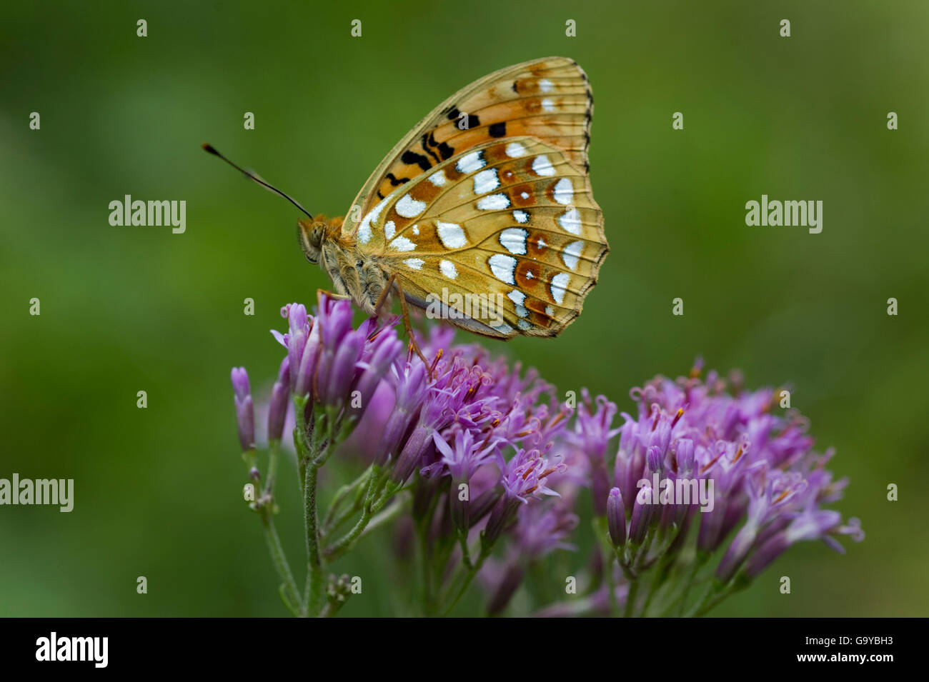 High Brown Fritillary (Fabriciana adippe), Lime Alps National Park, Upper Austria, Austria, Europe - Stock Image
