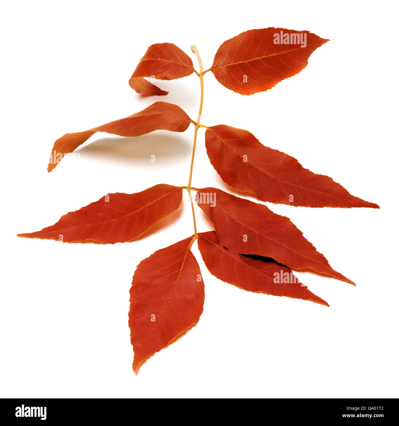 Red autumnal leaf isolated on white background Stock Photo