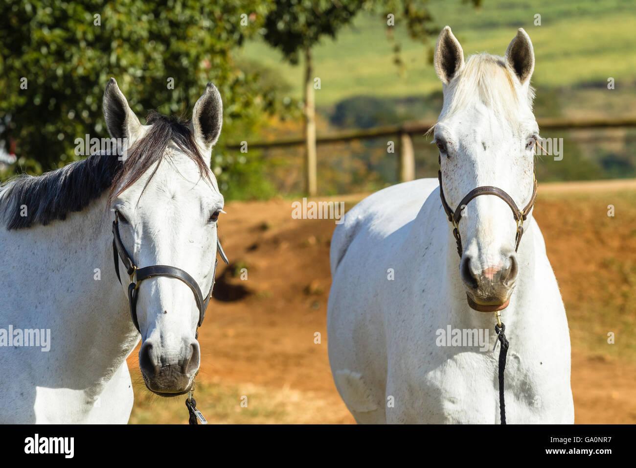 Horse closeup portrait of equestrian pony animals - Stock Image