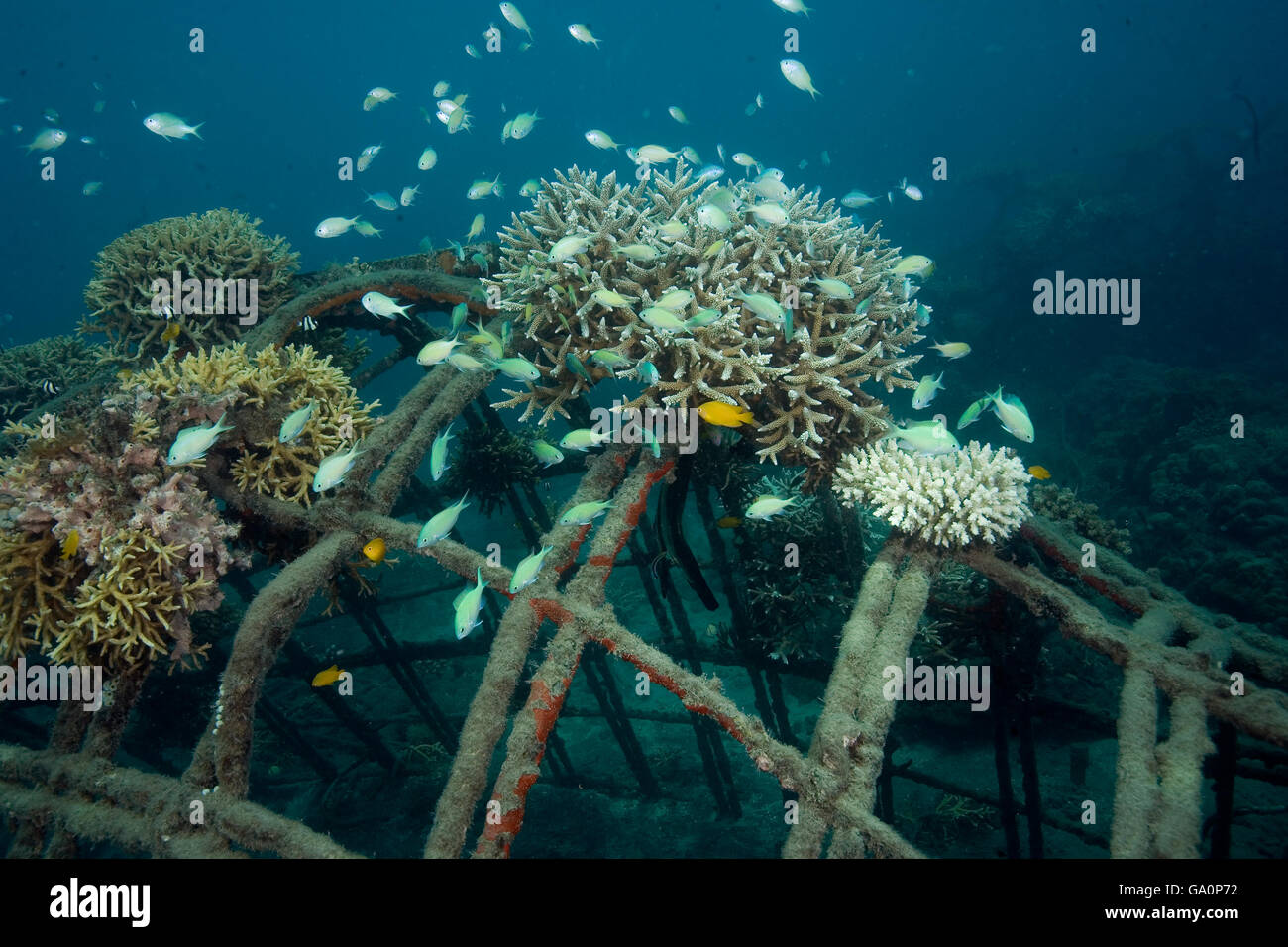 Fishes attracted to corals attached to the structure of bio-rock, method of enhancing the growth of corals and aquatic - Stock Image