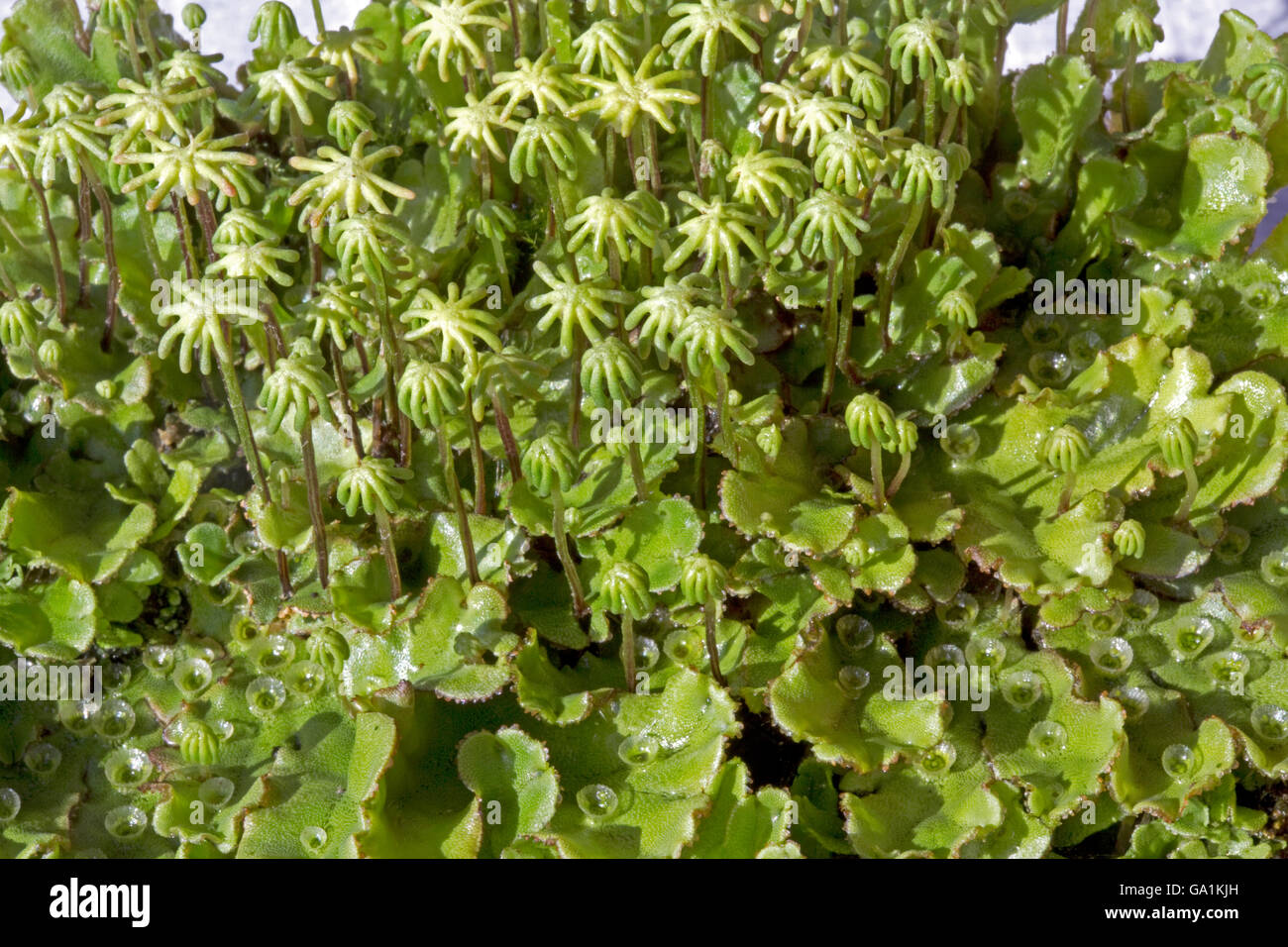 Foliaceous liverworts with fruiting bodies Cotswolds UK - Stock Image