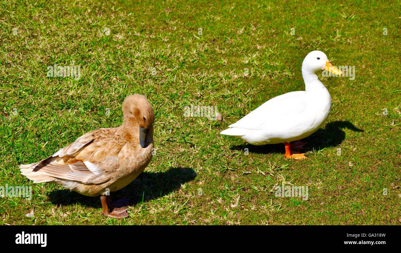 Northern Pintail and American Pekin Duck walking on outdoor green grass setting in wetland area of Western Australia. Stock Photo
