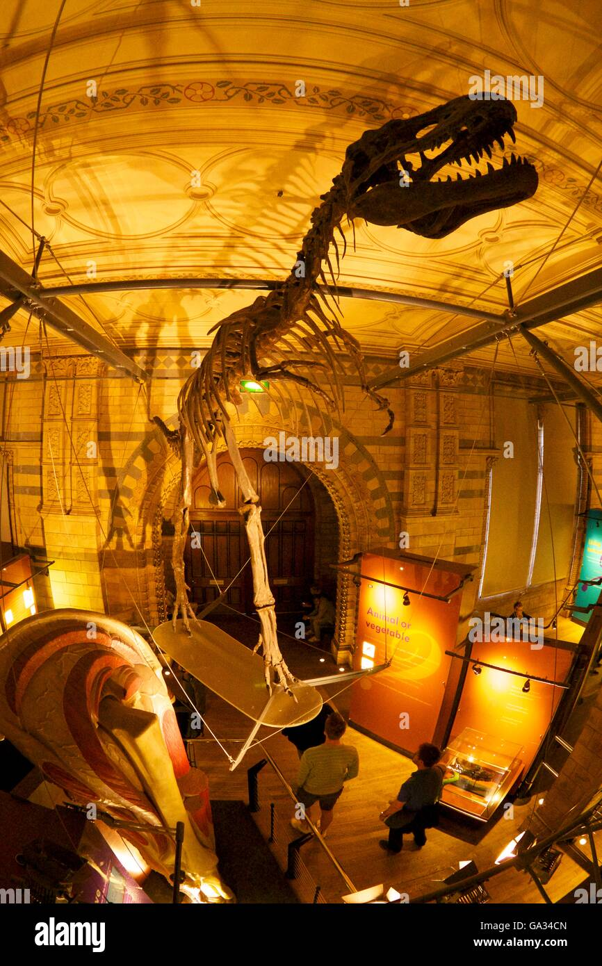 Dinosaur gallery, Natural History Museum,  South Kensington, London, England, UK - Stock Image