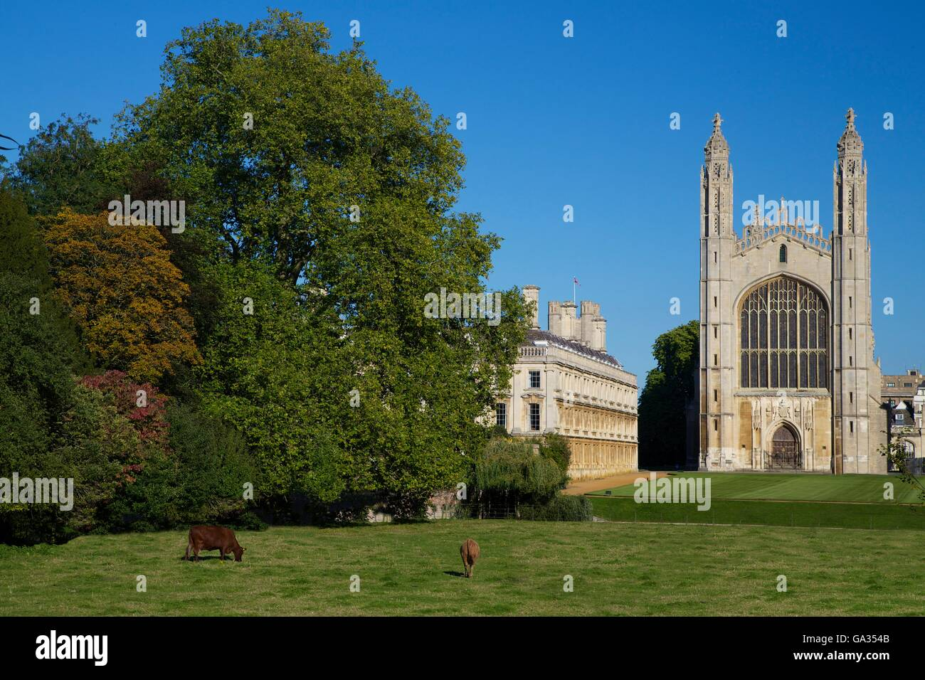 Cattle grazing near the River Cam, King's College,  Cambridge University, Cambridgeshire, England, UK, GB, Europe - Stock Image