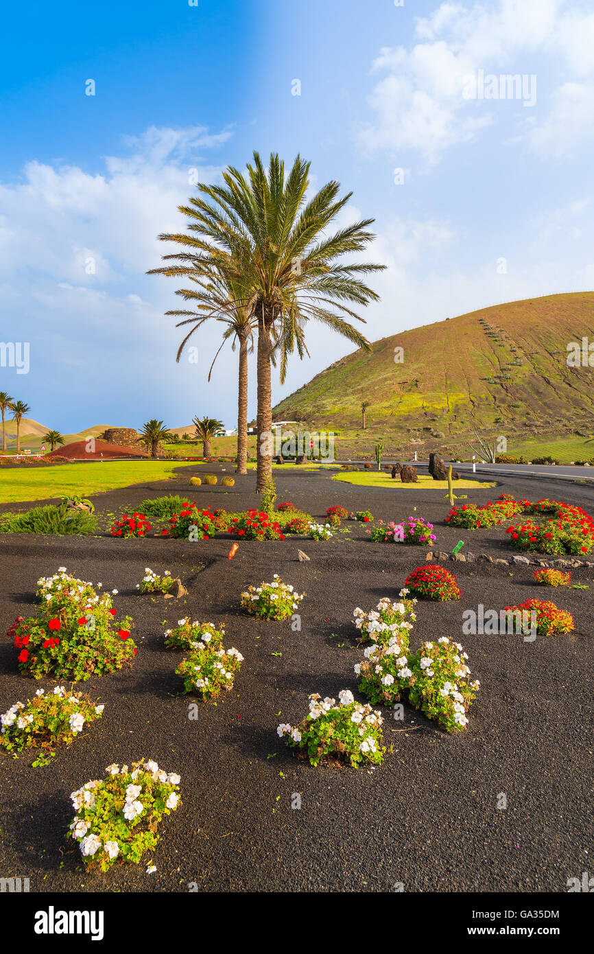 Flowers and palm tree along a road to Yaiza village, Lanzarote island, Spain - Stock Image
