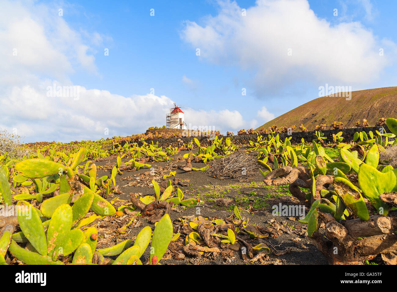 Field with green cactus plants and windmill in background in Guatiza village, Lanzarote, Canary Islands, Spain - Stock Image