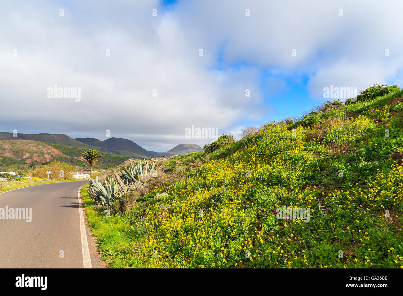 Yellow spring flowers growing along road to Haria village, Lanzarote island, Spain - Stock Image