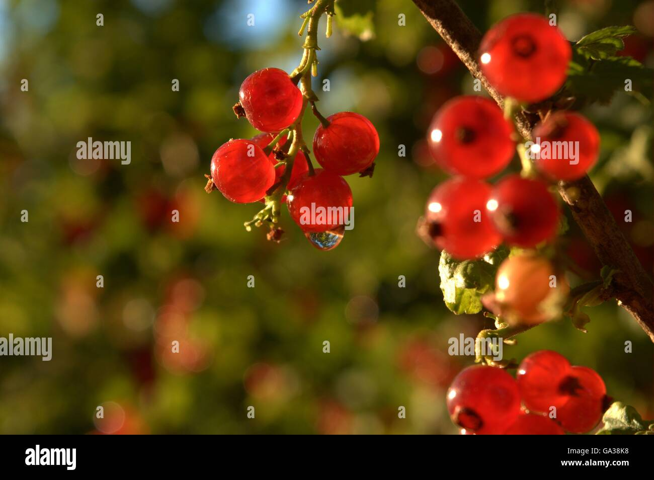 Berries and waterdrop - Stock Image