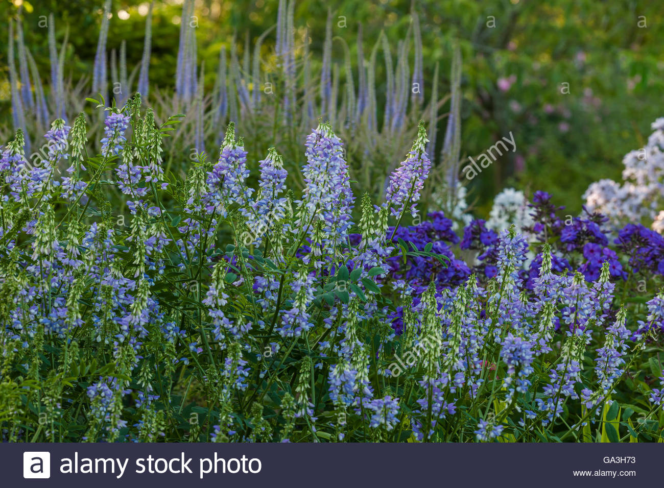 Galega 'His Majesty' goat's rue - Stock Image