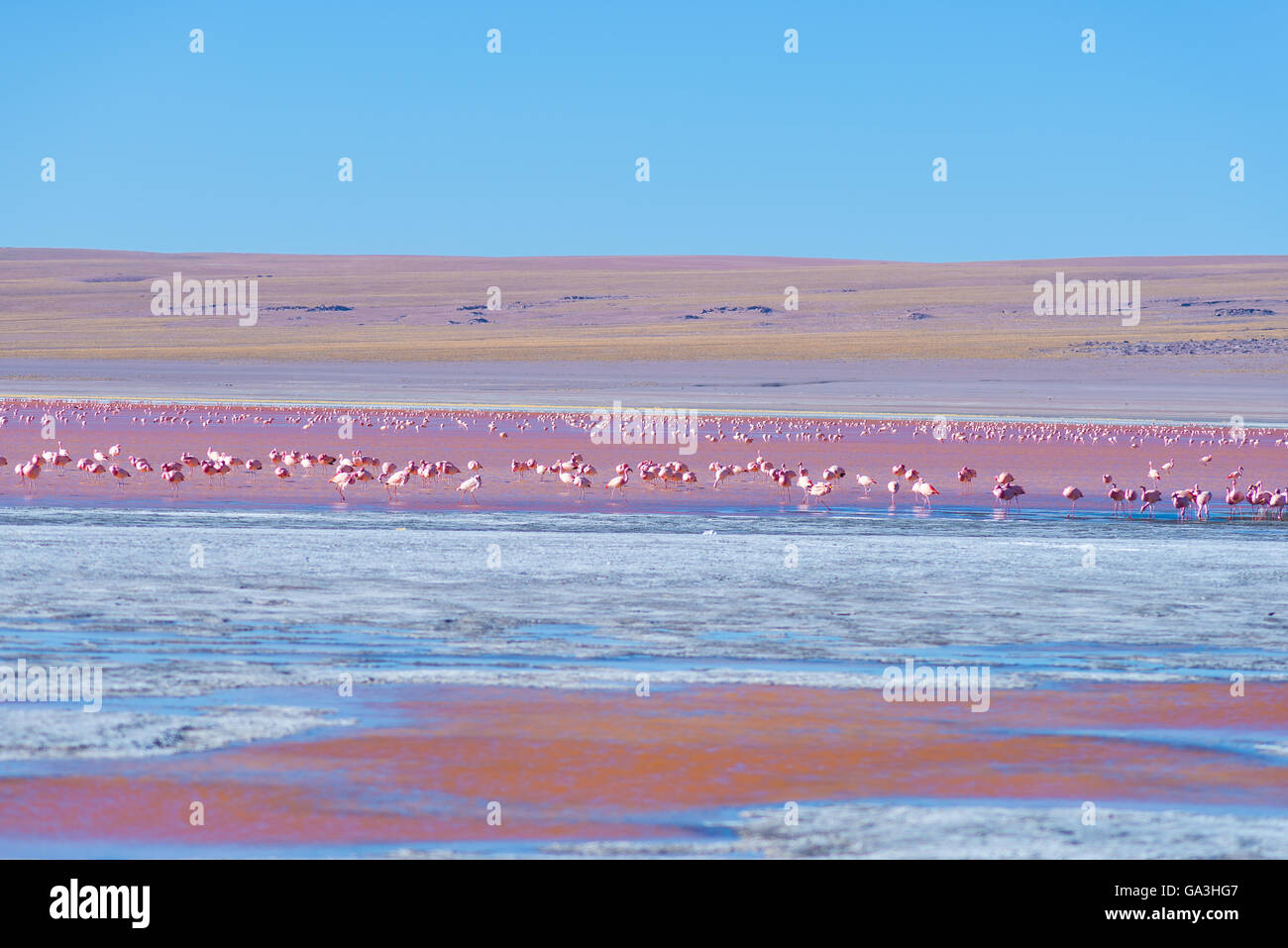 Group of pink flamingos in the colorful water of 'Laguna Colorada' (Multicolored Salty Lake), among the - Stock Image
