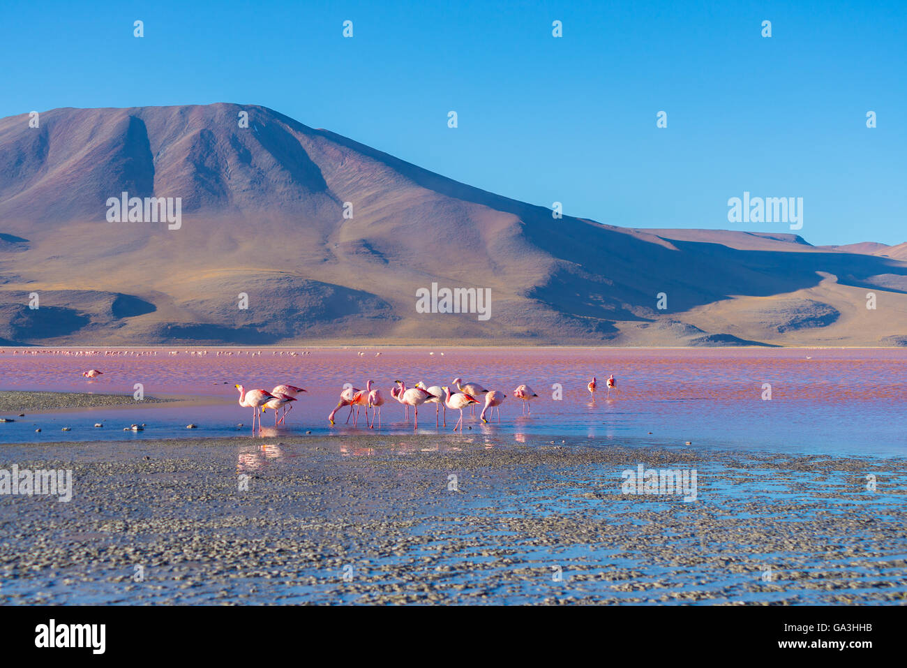 """Group of pink flamingos in the colorful water of """"Laguna Colorada"""" (Multicolored Salty Lake), among the most important Stock Photo"""