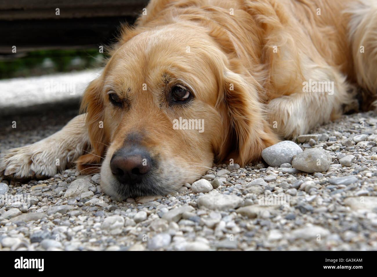 Tired Dog Golden Retriever Sad Puppy Dog Eyes Upper Bavaria