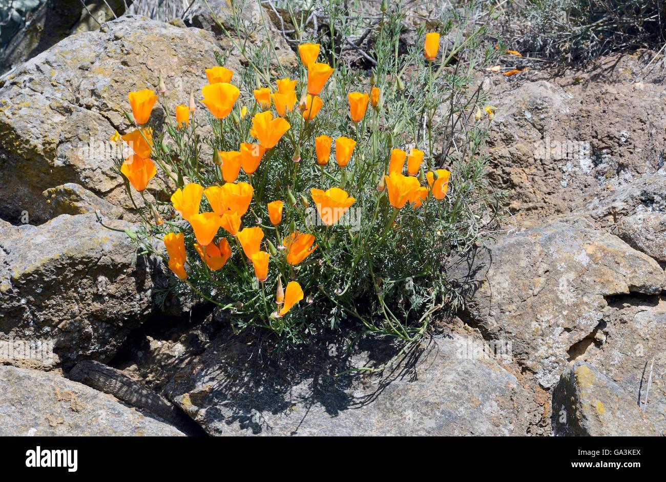 Poppy flowers, california poppy, golden poppy (Eschscholzia californica), Canary Islands, Tenerife, Spain - Stock Image