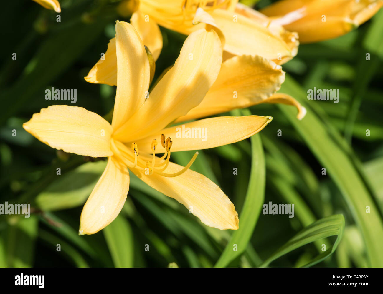 Lily like flower stock photos lily like flower stock images alamy yellow lily like flower stock image izmirmasajfo Image collections