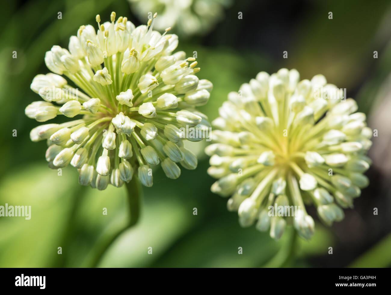 Allium flowers - Stock Image