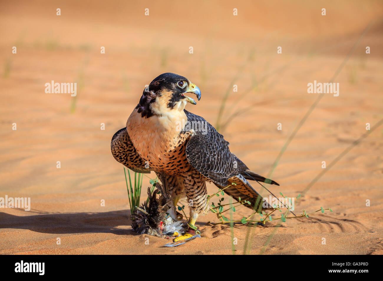 Peregrine Falcon with its prey in a desert near Dubai, UAE - Stock Image
